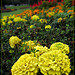 Conservatory of Flowers: Marigolds
