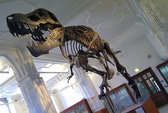 "T-Rex ""Stan"" at Manchester University museum."