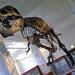 "T-Rex ""Stan"" at Manchester University museum."