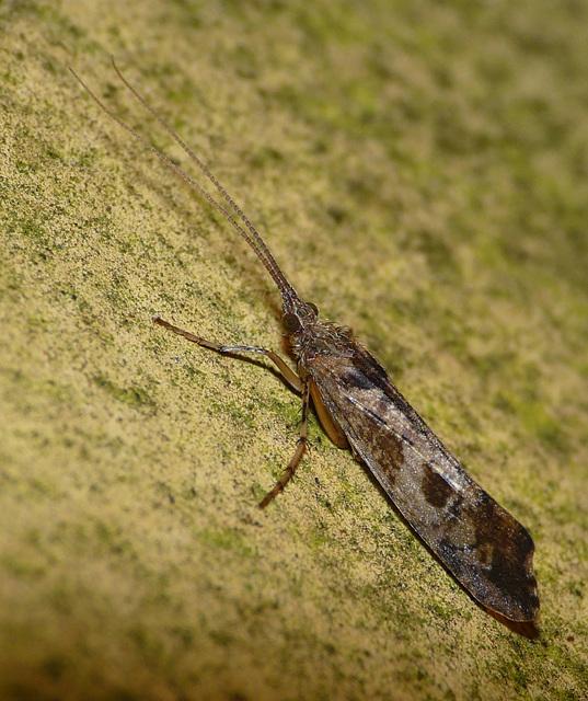 Glyphotaelius pellucidus -Caddis Fly