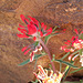 Indian paintbrush, Zion canyon
