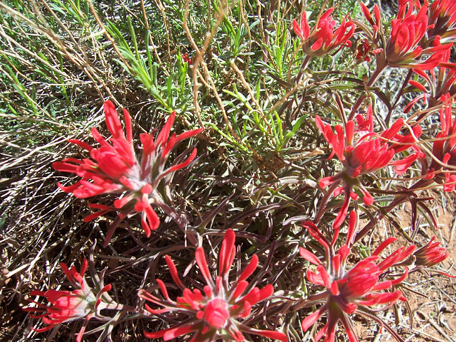 Indian paintbrush, along the trail at Zion