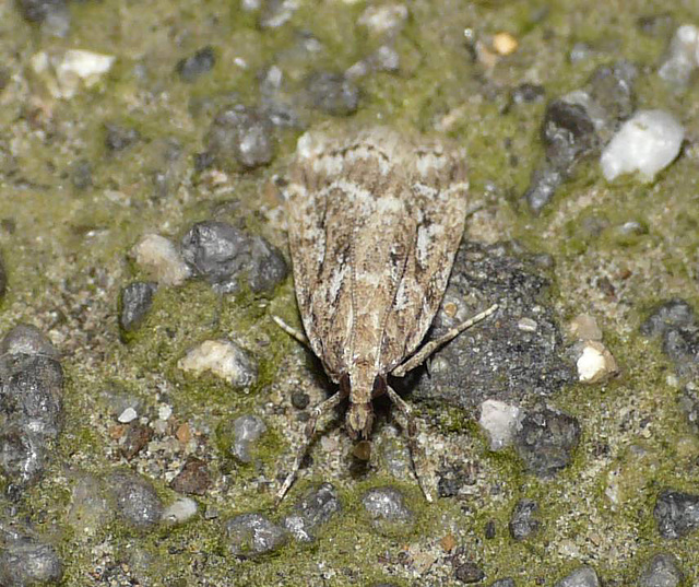 Eudonia pallida Front