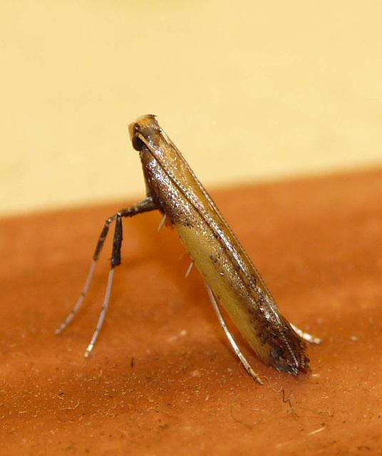 Azalea Leaf Miner -Top