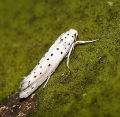 Yponomeuta cagnagella - Spindle Ermine
