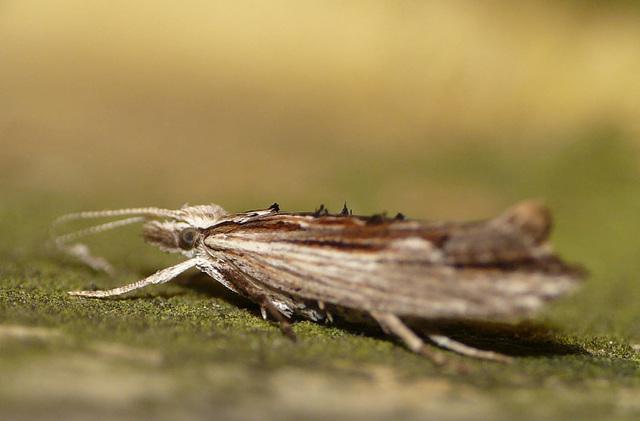 Ypsolopha Scabrella