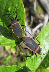 Bordered Plant Bugs Mating
