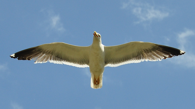 Gull attacking