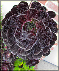 Web-Covered Succulent  (in my old Neighborood)