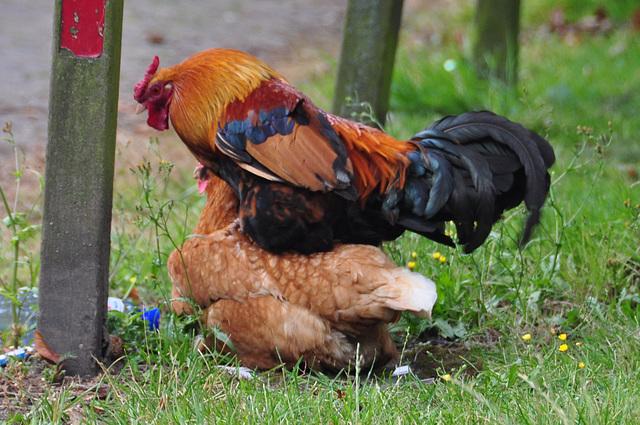 Mr. and Mrs. Chicken