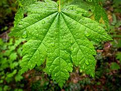 Droplet-Covered Maple Leaf