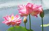 Pink Lotus (Explored)