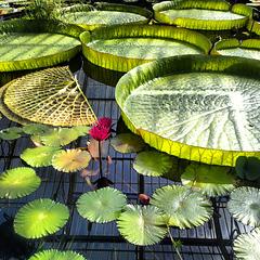 Water lillies deluxe