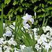 C- Jardin 3-Renaissance- Iris ' Immortality ' et Pensées blanches