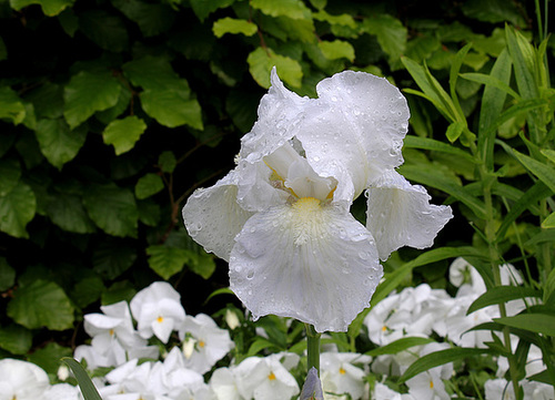 C- Jardin 3-Renaissance- Iris 'Immortality'