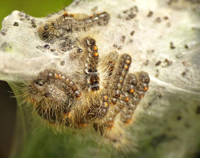 Brown-tail Moth Caterpillars