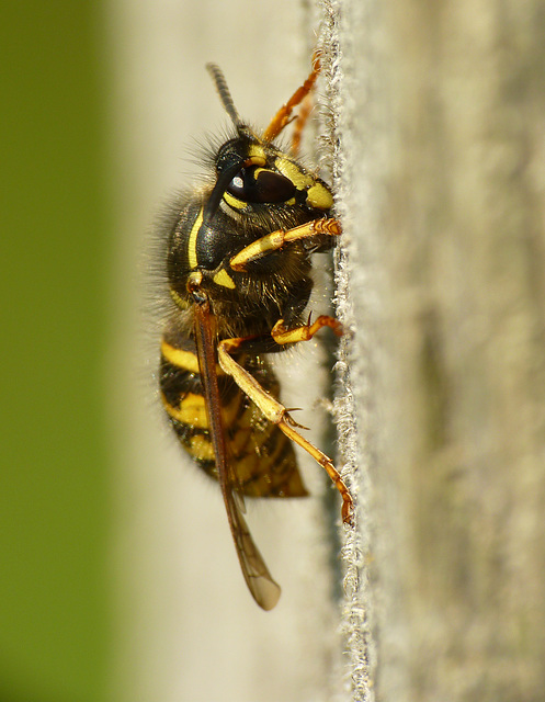 Wasp Gathering Wood for Nest