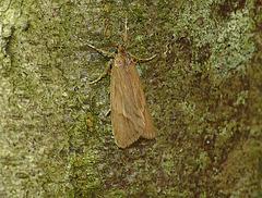 Diurnea lipsiella Moth