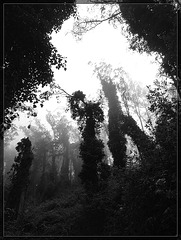 Eucalyptus Forest People B/W