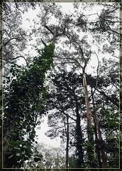 Ivy Climbing up Eucalyptus Tree