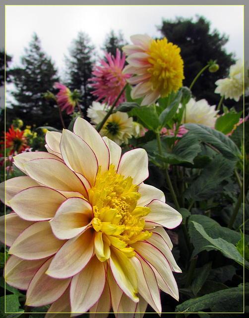 Cream and Yellow Dahlia