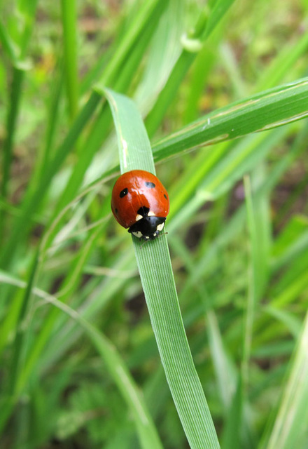 Seven-spotted Lady Beetle, Coccinella septempunctata
