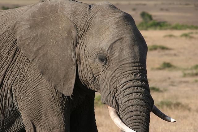 Wise elephant