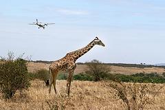 Giraffe in the flight path