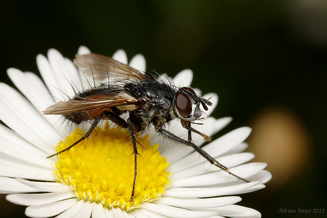 Eriothrix rufomaculata (Tachinidae)