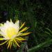 Night Blooming Cereus #3 2009