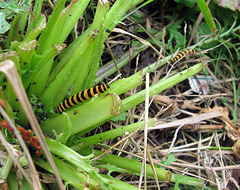 Black and yellow Cinnabar Moth caterpillar