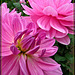Conservatory of Flowers: Dahlia Garden Beauties