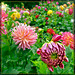 Dahlia Opening in Front of a Crowd