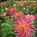 Dahlia Color Explosion