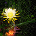 Night Blooming Cereus ..not counting ! 2009