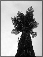 Dinosaur Palm in Silhouette