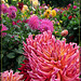 Crazy Pink Dahlia with Fancy Hair