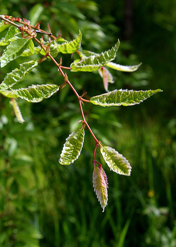 Zelkova variegata