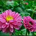 Pair of Pink Beauties