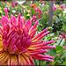 Dahlia: Pink to Yellow Explosion