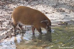 Pinselohrschwein (Hellabrunn)