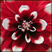 Red & White Dahlia: In Your Face