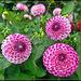 Trio of Pink Dahlias
