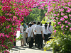 PICT6350bc Students Crossing a Bush of Bougainvilleas
