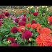 Conservatory of Flowers: Dahlia Garden
