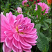 Perfectly Pink Dahlia
