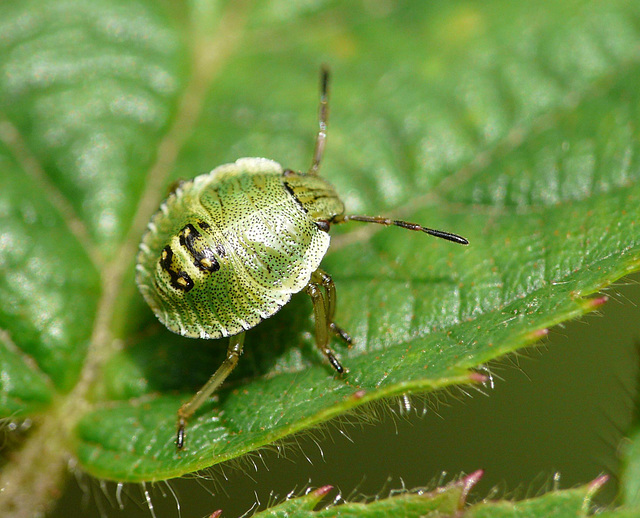 Common Green Shield Bug  -Young (3rd Instar)