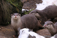 Otter family out in the snow