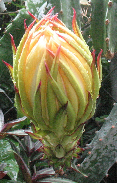 Soon.. this magnificent flower will open..2009
