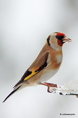 Goldfinch breakfasting in the snow